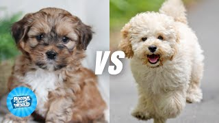 Shih Poo vs Maltipoo Dog Breed Information  Can these dogs be watchdogs | Dogs 101