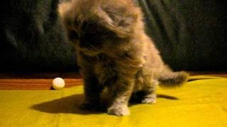 Шотландские котята 1