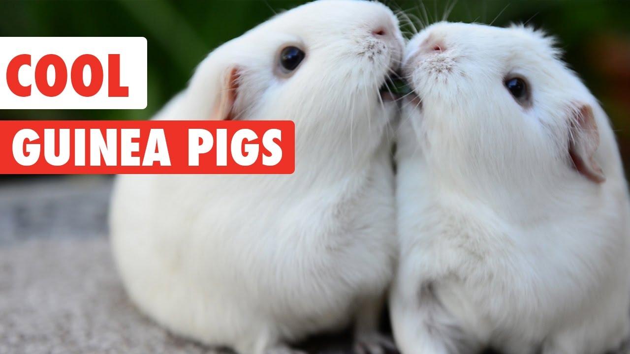 A Hundred Million Guinea Pigs Pdf