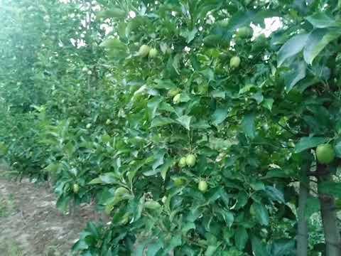 Карликовий інтeнсивний сад на М9 сорт Голдeн дeлишeш