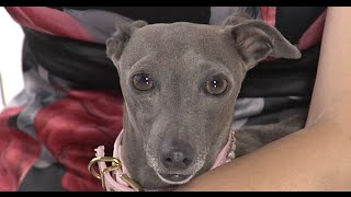 Test.tv: Все для животных. Левретка – модная собака египетских фараонов