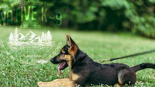 New German Shepherd Puppy