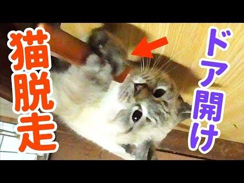 ドアを開けて脱走!子猫がドアの開け方を覚えてしまった…