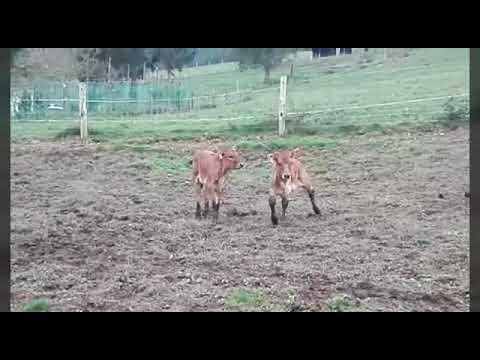Un ternero de tres patas sobrevive en una explotación lucense