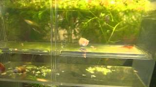 Teaching Albino Guppies not to eat their own fry.