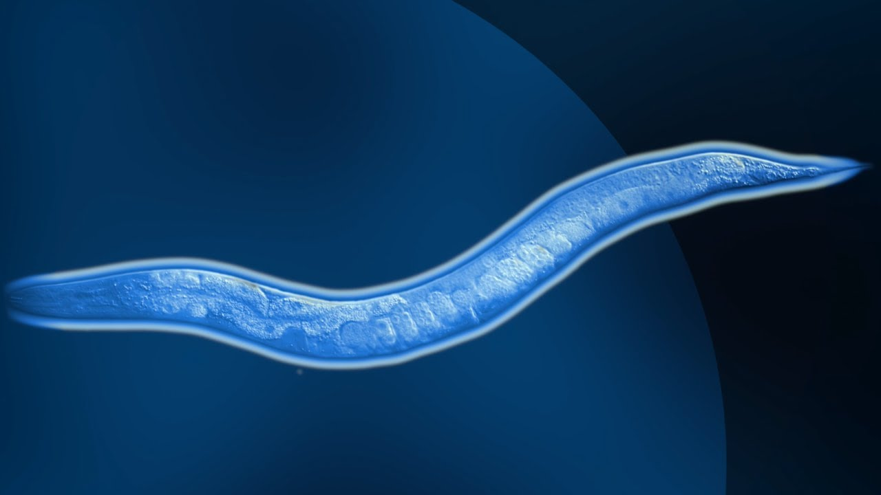 A screenshot from Cold as (vitreous) ice: high pressure freezing microscopic worms