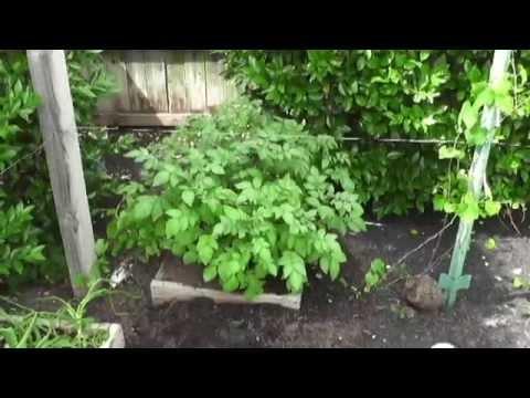 Potatoes, Tomatoes, Figs and Kiwi in Houston!