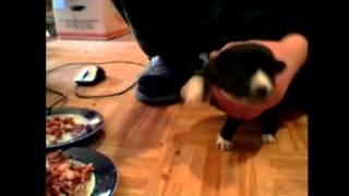 Первый прикорм щенков.  Восточно сибирская лайка