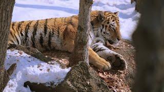 Фильм «Амурский тигр. Путь к священной горе»