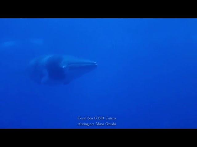 2020 年も ミンククジラ