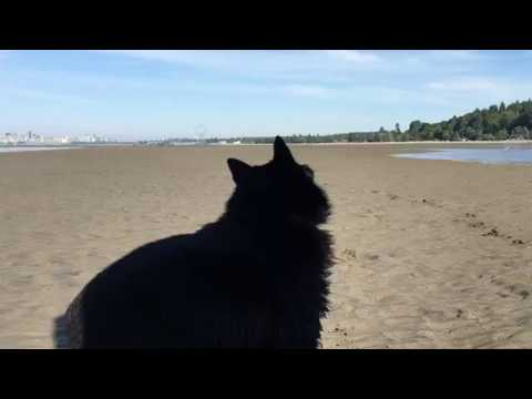 Schipperke dog chases bubbles at the beach
