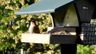Wild Bird House : Some Blue Jays And Red Bellied Woodpeckers : Backyard Bird Watching