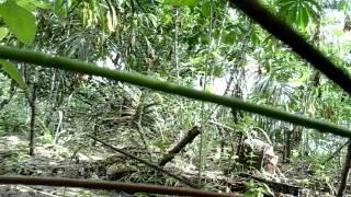 Mikat puyuh hutan raja master