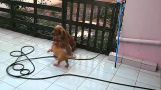 Boxer Puppy Playing With English Cocker Spaniel