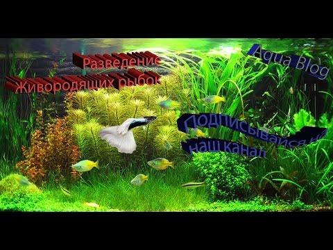 Разведение Живородящих рыбок : Гуппи, пецилии, меченосцы. Часть №1 Aqua Blog Подпишись!!!