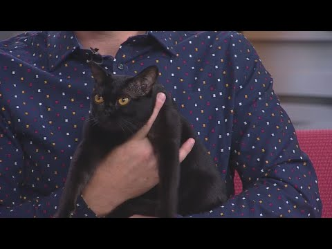 Twin City Cat Fanciers All Breed Cat Show Kicks Off This Weekend