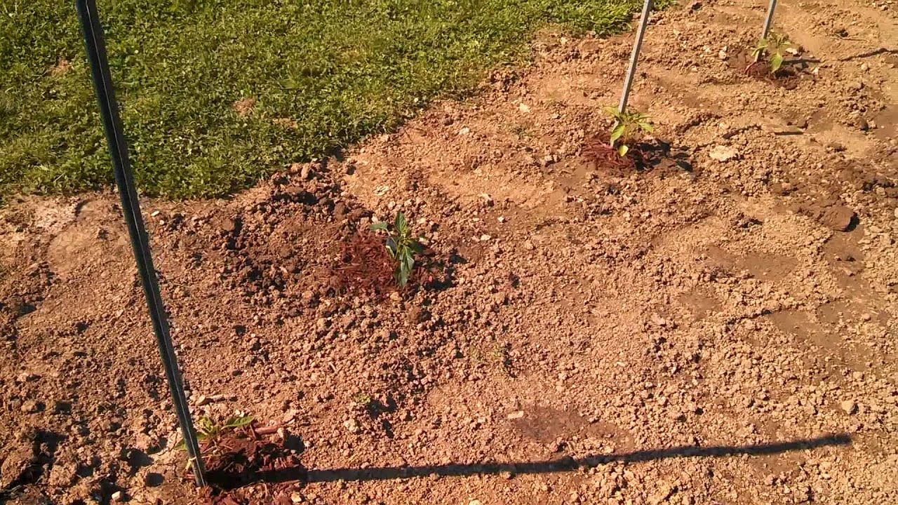 Our vegetable garden & transplanted lilac bush - YouTube