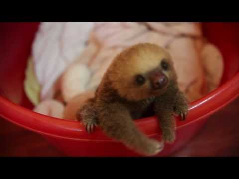 download cute baby sloth in costa rica, meet Hope