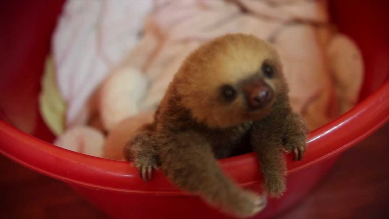 cute baby sloth in costa rica meet Hope  YouTube