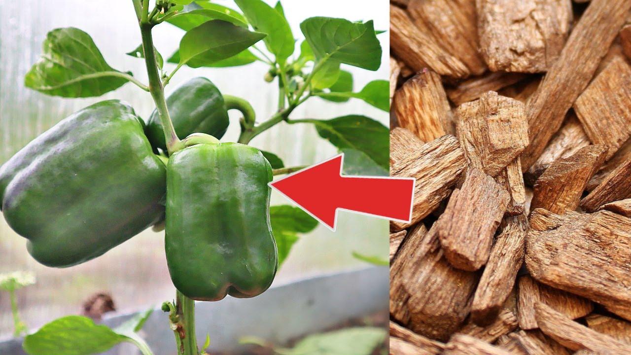 Сыплю это в теплицу почва как пух - растения не болеют слизней нет! Сосновая кора для мульчи томатов