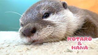 Hana the Otter Dozing Off
