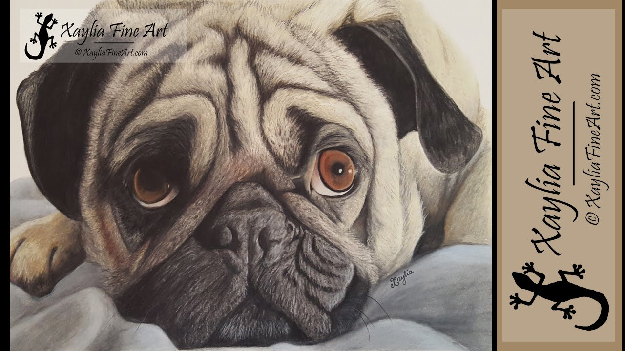 speed drawing how to draw a pug in coloured pencils
