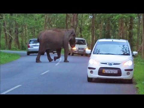 Elephant crossing Wayanad- Mysore road