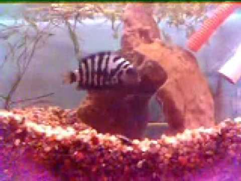 Reproduccion en los peces 2 youtube for Reproduccion en peces