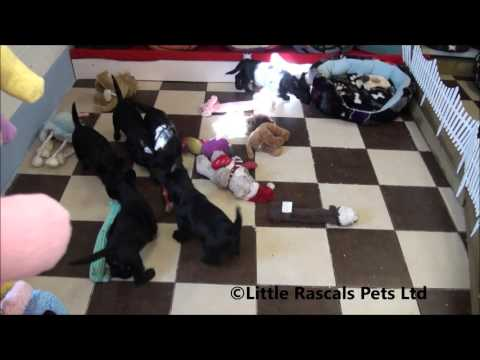 Little Rascals Uk breeders New litter of Scottish Terrier Puppies
