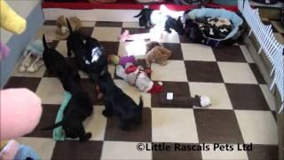 Little Rascals Uk Breeders New Litter Of Scottish Terrier Puppies