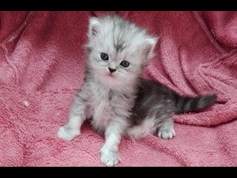 My Persian Cat is a Mom: two cute 14 days old baby kittens our funniest family members | DISCOVER