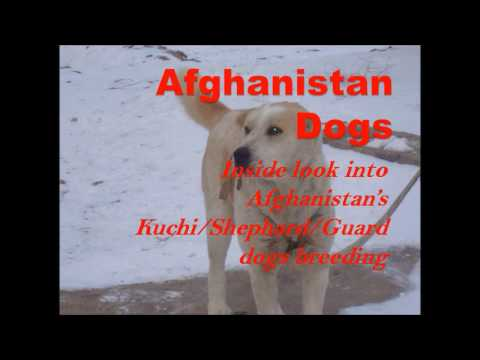 Afghanistan Dog breeding|Dog breeding|Ultimate Dog breeding