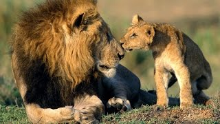 Africa Lions: Documentary on the Lions of South Africa's Kruger National Park