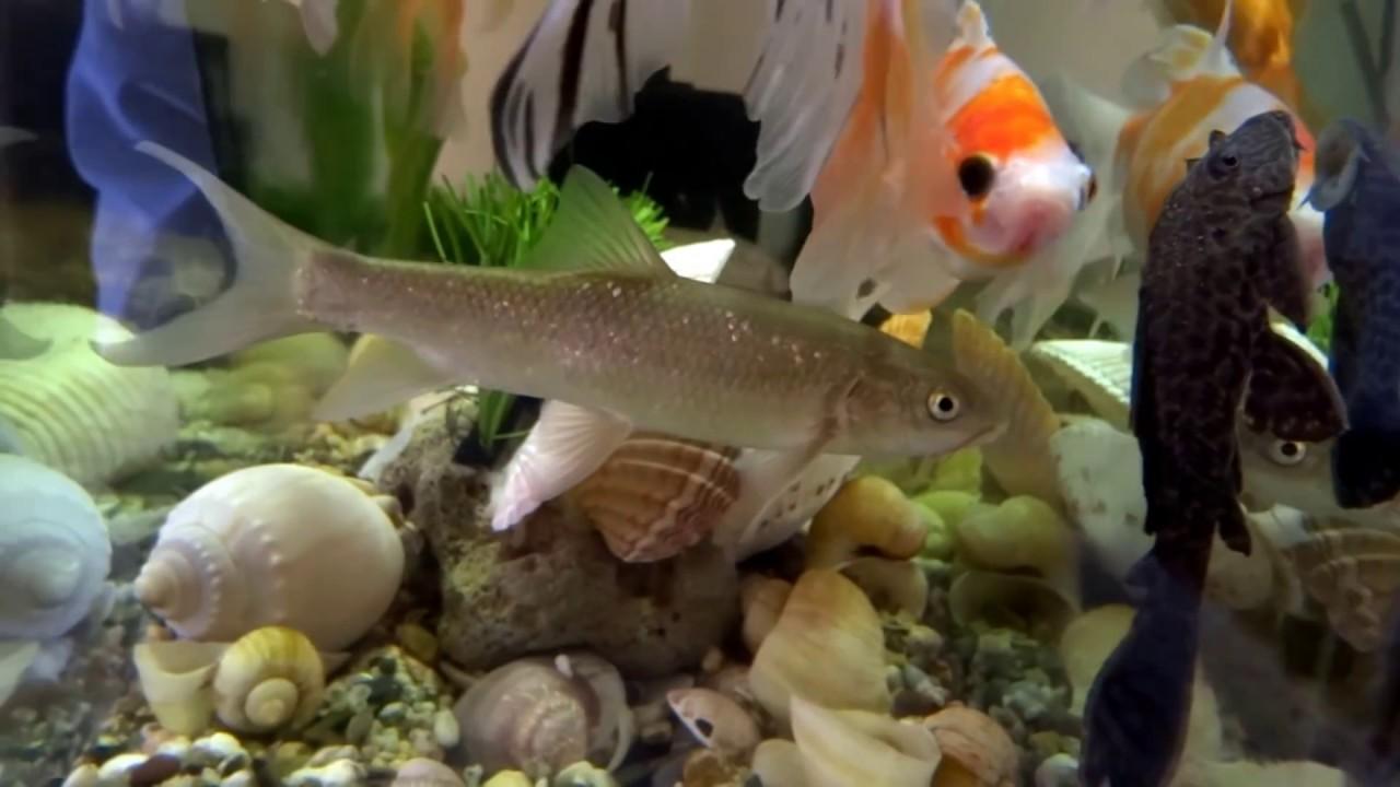 3d Aquarium Wallpaper For Windows 7 Beautiful Collection Fish Goldfish Freshwater Fish