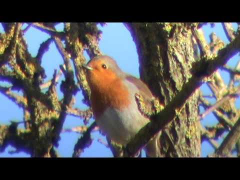 Robin Bird Song
