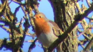 Robin Bird Song