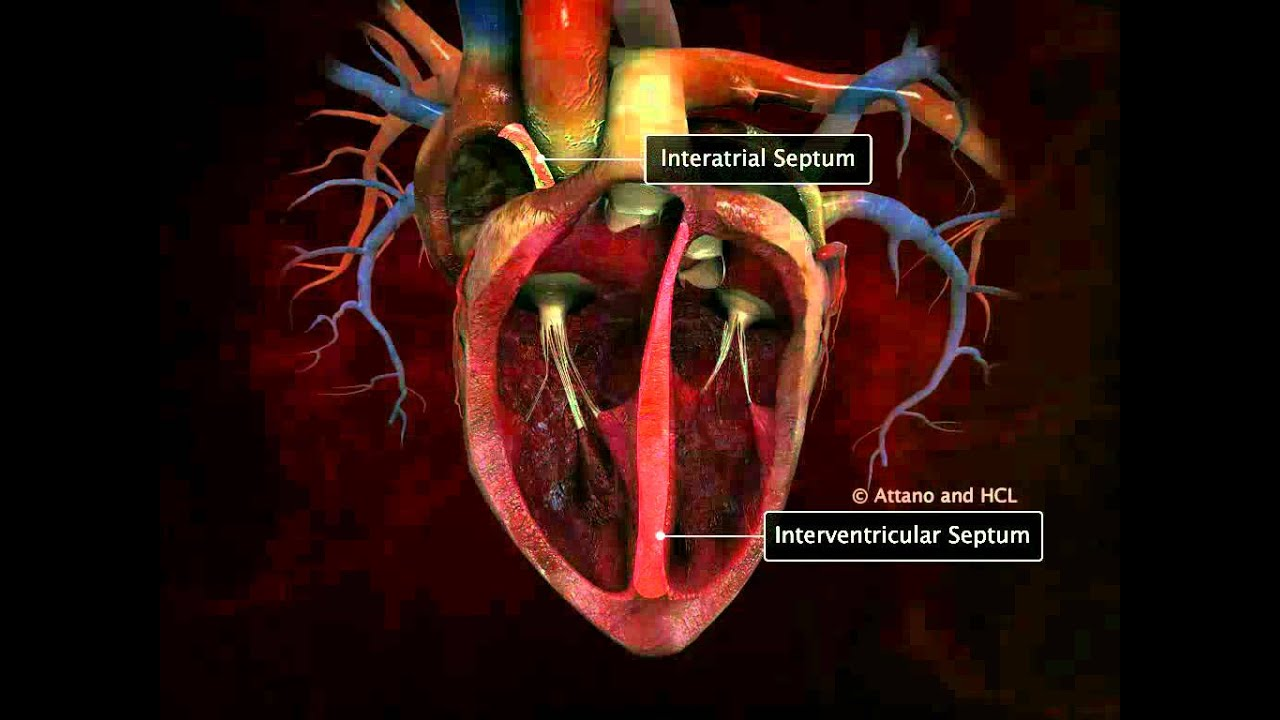 Human Heart Detailed - YouTube
