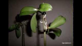Уход за орхидеями- остались только цветоносы...(, 2015-01-08T16:09:39.000Z)