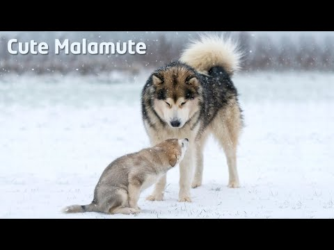 Alaskan Malamute teaches puppy how to behave