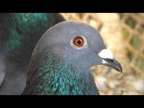 David Clausing - Houben Pigeons