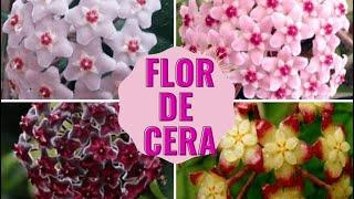 Dicas para Flor de Cera  Flor Estrela(Hoya Carnosa)