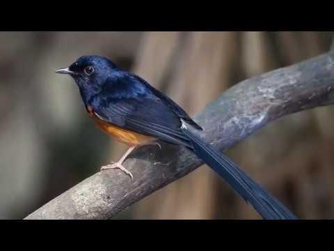 Inilah Jenis Burung Berkicau Paling Mahal di Indonesia