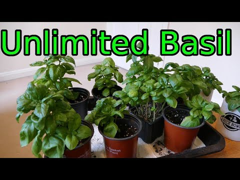 Basil, How To Grow More Than You Can Eat
