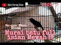 Masteran Murai Batu Full Isian Mewah Roll Tembak Kasar  Mp3 - Mp4 Download