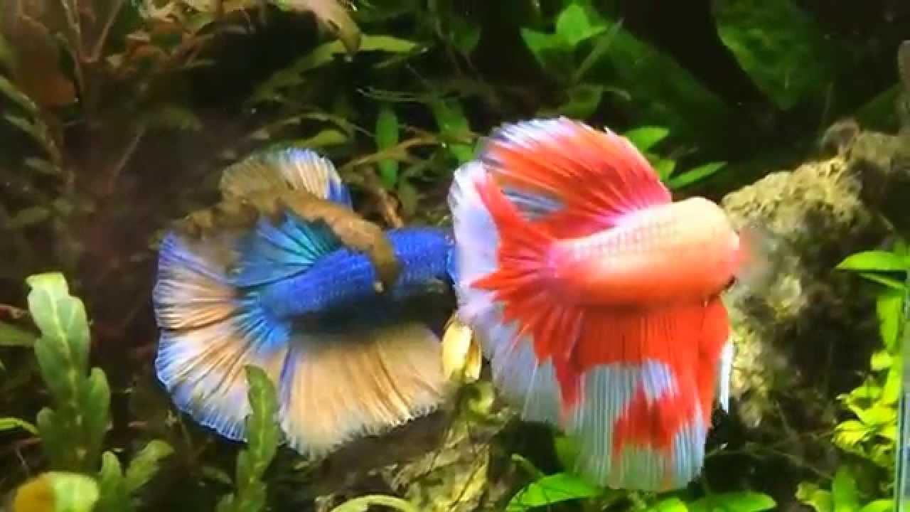 Poissons d 39 aquarium zierfische guppy platy betta for Aquarium zierfische