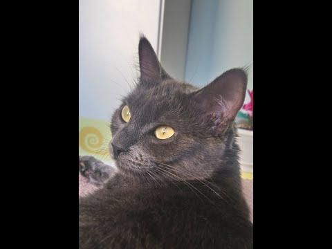 My korat cat Lea