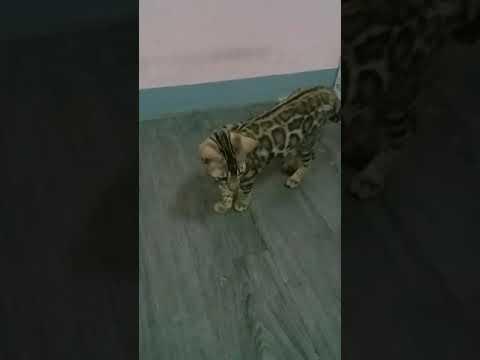 แมวเบงกอลเพศเมีย ลูกค้าส่งมาอัพเดต