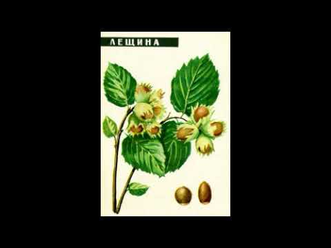 листья и кора лещины при варикозном расширении вен