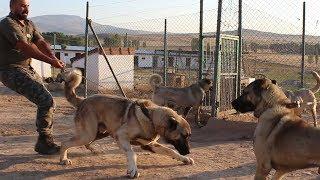 RAHAT DURMADI BİRTÜRLÜ ! ( DEV ALTIN KANGALLAR ve ANADOLU ÇOBAN KÖPEKLERİ ) Kangal, Anadolu çoban