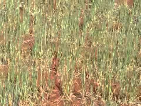 wheat affected by drought in Syria